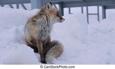 The red fox sits on the snow and licks against the ...