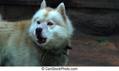 The red-haired dog of the Husky breed is tied with a chain to a wooden fence. Shaggy dog is calm, because before that he ate. Sunny summer evening in a dog kennel