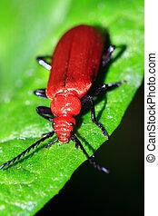 Pyrochroa serraticornis - The red-headed or common Cardinal ...