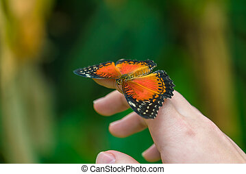 Red Lacewing butterfly (Cethosia biblis)