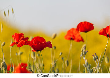 The red poppies on a yellow background