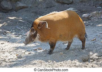 The red river hog Potamochoerus porcus , originated from the...