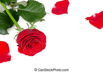 The red roses isolated on white background