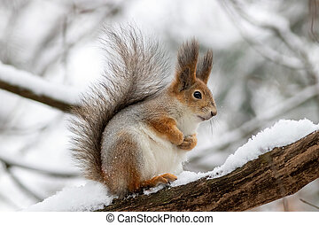 The red squirrel is sitting on the brunch at winter