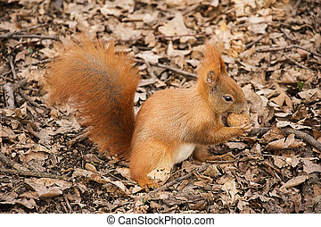 the red squirrel on the ground eats a walnut