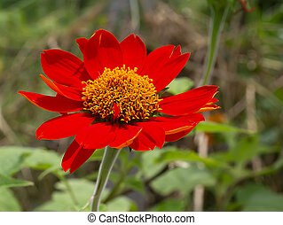 The red sunflower or Mexican sunflower (Tithonia ...