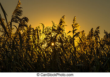 The reeds early in the morning