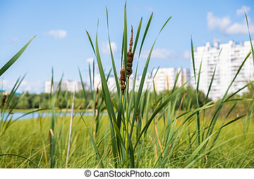 The reeds grow on a small blue lake in daylight.