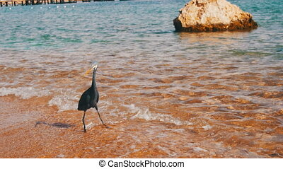 The Reef Heron Hunts for Fish on the Beach of the Red Sea in Egypt