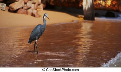 The Reef Heron Hunts for Fish on the Beach of the Red Sea in Egypt. Slow Motion