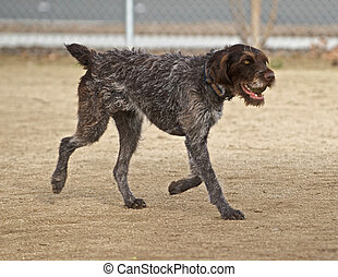 The return of the ball - The German Wirehair Pointer has ...