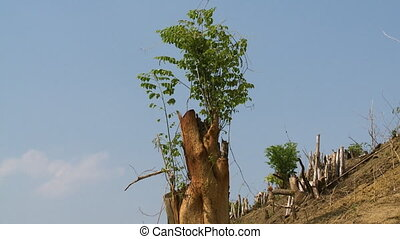 The revival of a cut off tree - A steady, low angle, medium...