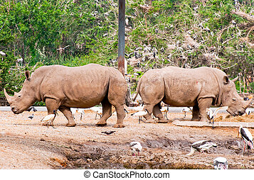 The Rhino eating grass straw in zoo