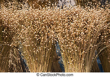 the ripened sheaves of flax