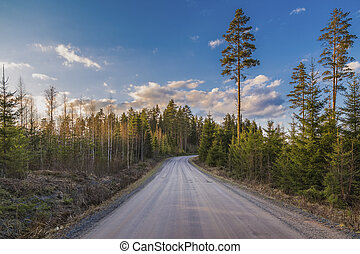 The road in the forest with young spruces and tall pines