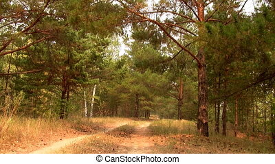 The road in the pine forest