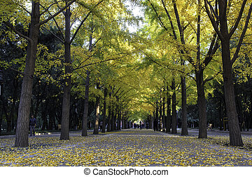 The road of ginkgo