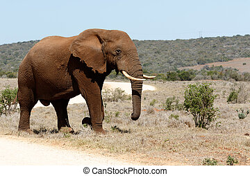 The Road to the African Bush Elephant