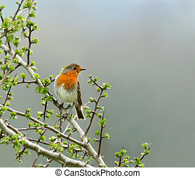 Robin sitting on the branch of a hawthorn tree in spring, set against a grey sky.