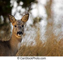 The Roe Deer Portrait (Capreolus capreolus)