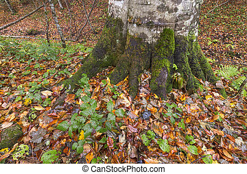 The roots of a tree in autumn leaves