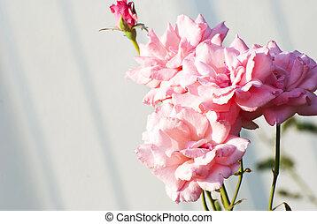 The rose close up