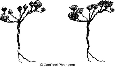 The Rose of Jericho, vintage engraving.