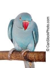 The rose-ringed or ring-necked parakeet, Psittacula krameri, female isolated over white background