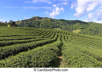 The row of the tea farm with the blue sky.