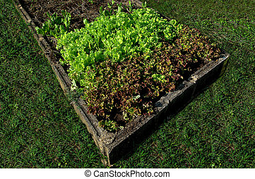 The Rows of lettuce plants growing on farm