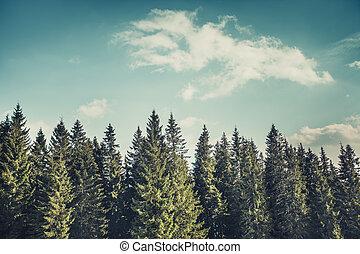 The rows of pine trees. The Carpathians. Ukraine.