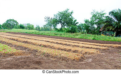 The Rows of vegetable plants growing on a farm