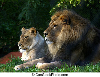 The royal couple - Male and female lions watching.