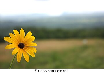 Black Eyed Susan - The Rudbeckia, known also as Black Eyed...