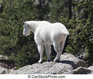 The rugged terrain - Mountain goat on rock ledge