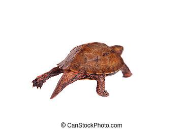 The Ryukyu leaf turtle, Geoemyda japonica, on white - The ...