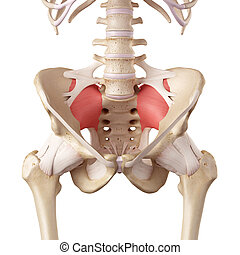 The sacroiliac ligament - medical accurate illustration of...