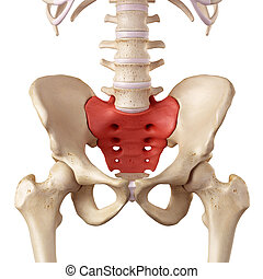 The sacrum - medical accurate illustration of the sacrum