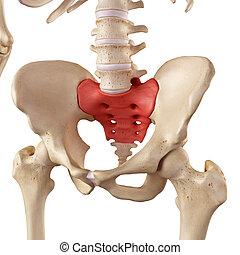 The sacrum - medical accurate illustration of the sacrum
