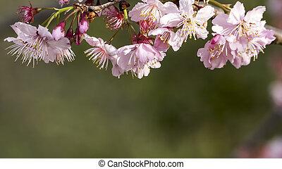 Sakura. Cherry Blossom in Spring season. Beautiful Pink Flowers