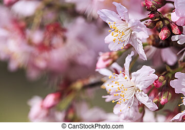 Sakura. Cherry Blossom in Taiwan. Beautiful Pink Flowers