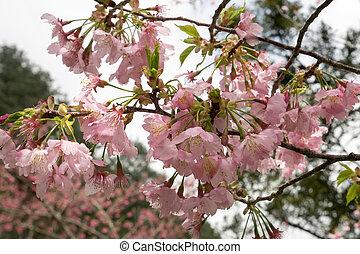 The sakura flower (cherry blossom)