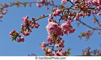 The sakura tree with blue sky in the background