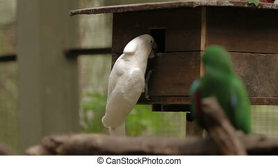 The Salmon-crested cockatoo (Cacatua moluccensis) also known...