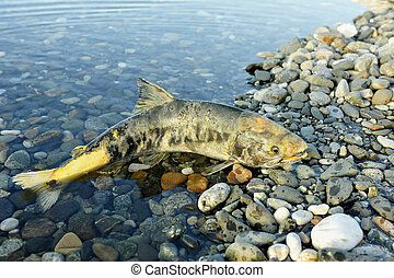The salmon (Oncorhynchus keta)  the comer spawns dies in the river
