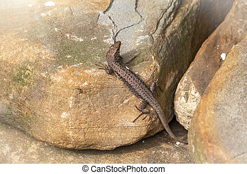 The sand lizard Lacerta agilis sits on a stone