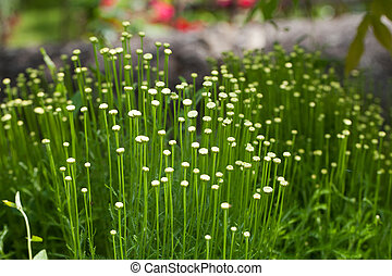 The Santolina is a medicinal plant that smells like chamomile.