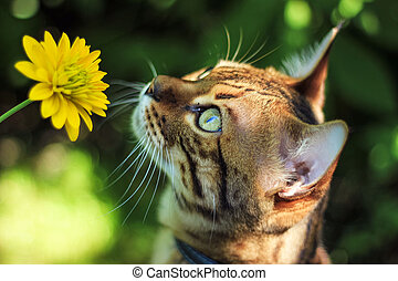 The Savannah cat sniffs a yellow flower in nature on a leash