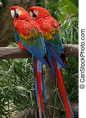 The Scarlet Macaws is a large colorful parrot.