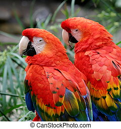 Scarlet Macaws - The Scarlet Macaws is a large colorful...